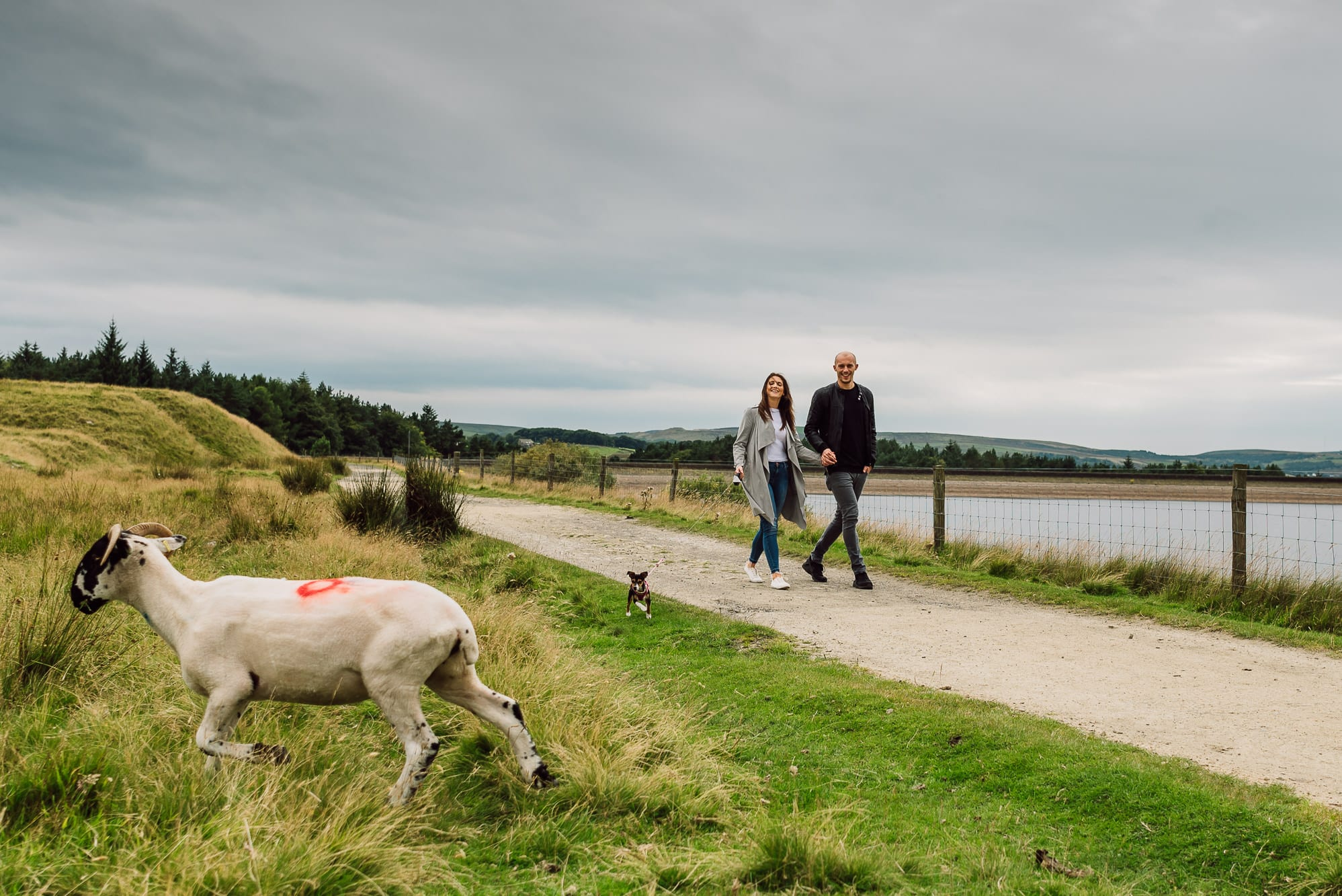 Close up to a sheep with couple walking behind
