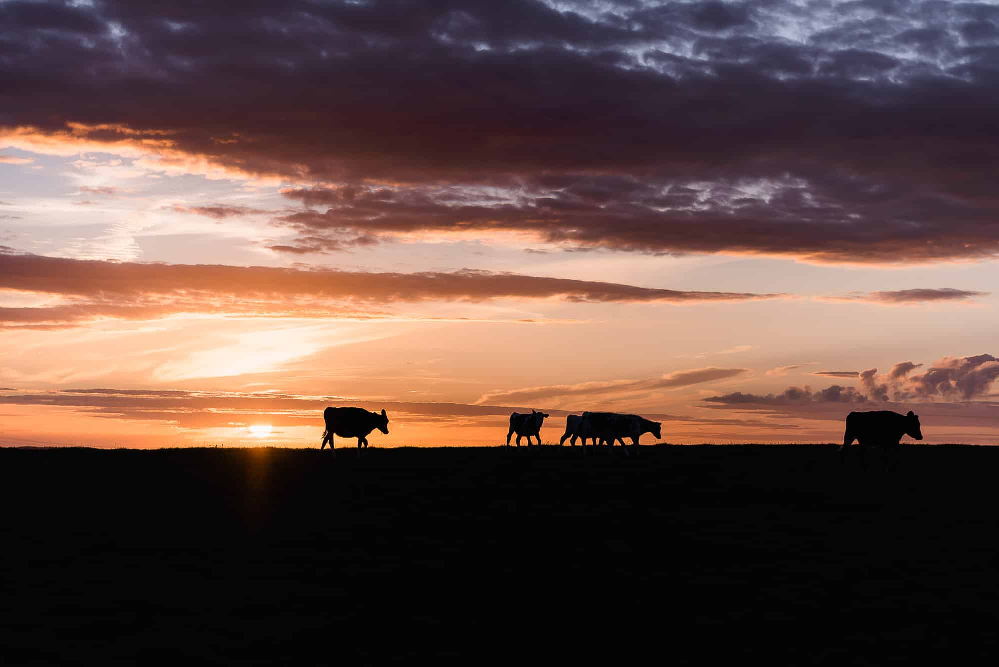 Cows in the field with a great sunset